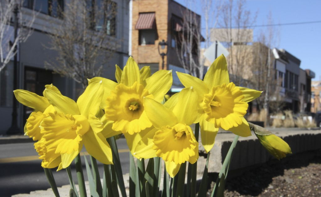 The first flowers of the year have hit full bloom in downtown planters. These lovely daffodils always say when spring is here in the Yakima Valley.