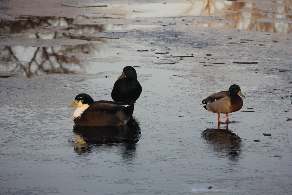 Resident ducks waddle on thin ice at the Kiwanis Park Reflection Pond.
