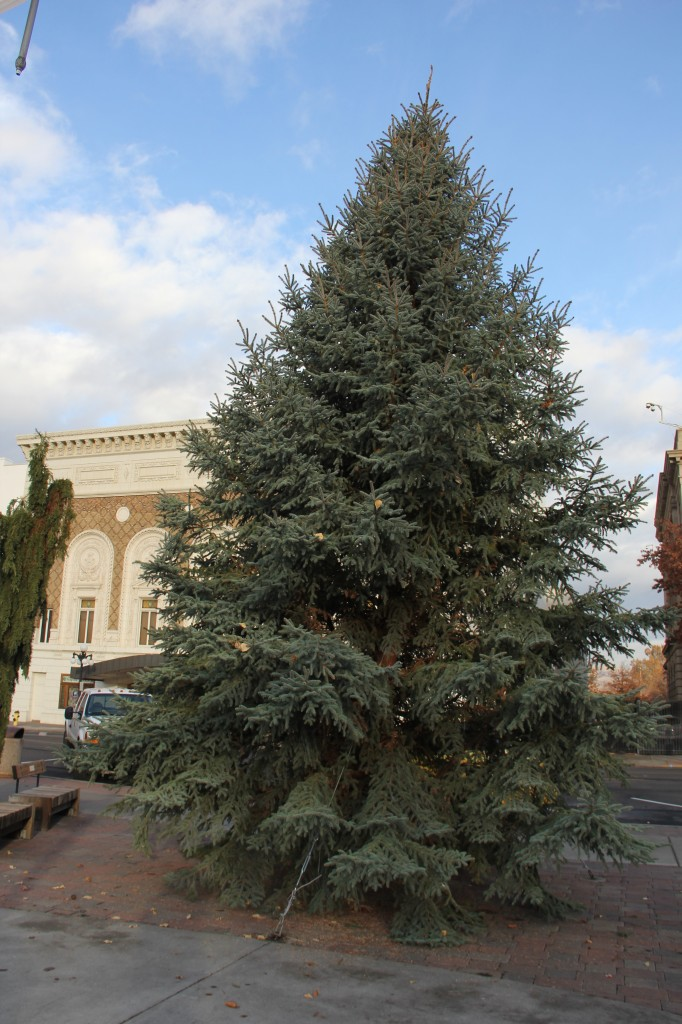 "Yakima's community Christmas tree has been placed at the Millennium Plaza for the upcoming ""Light up the Plaza"" event on December 5th in Downtown Yakima."