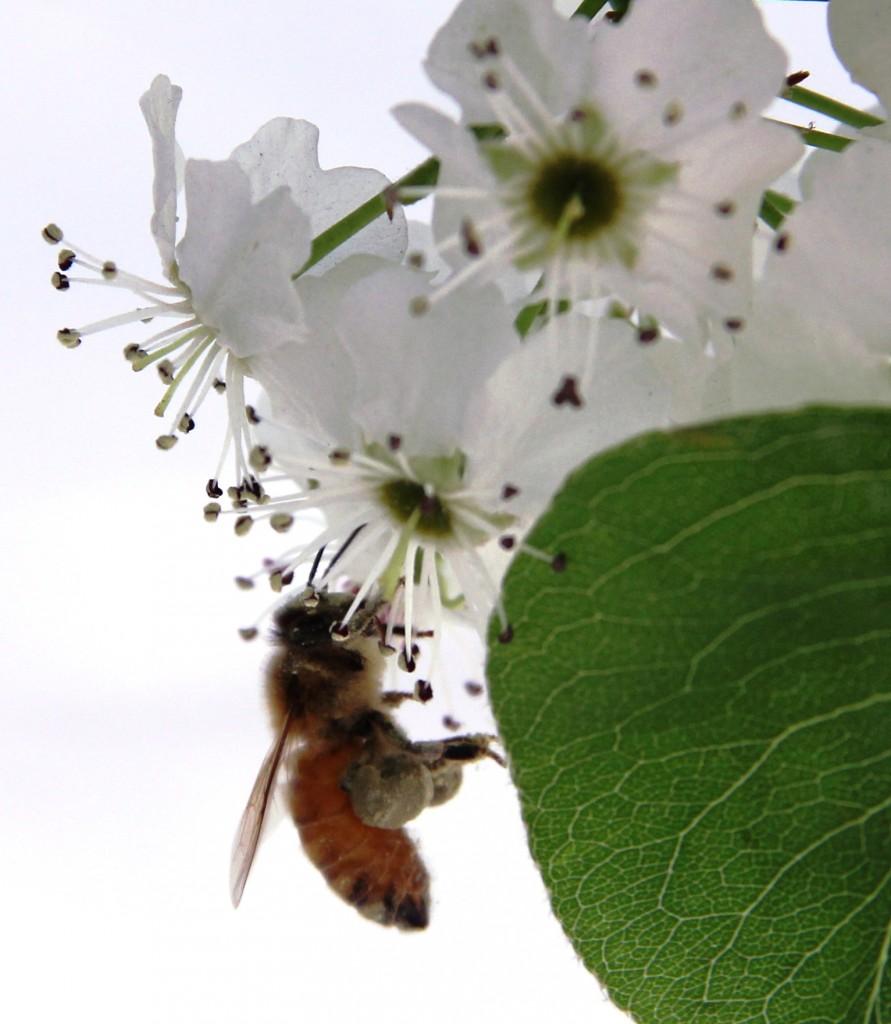 Photo of the Week - Bee's Knees - 4-1-16