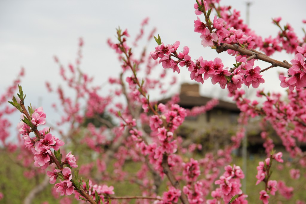 Blossoms are popping all over the peach and nectarine trees in a small strip of orchard along Summitview Avenue.