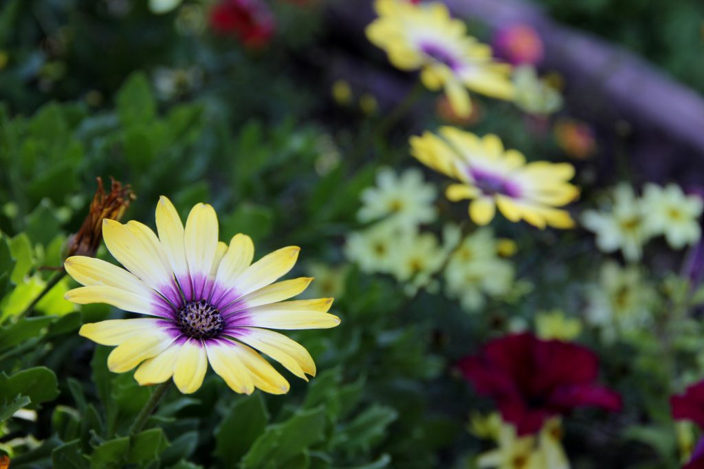 Mark Ward's flower garden in central Yakima has benefited from lower than normal temperatures recently, allowing his flowers to flourish.